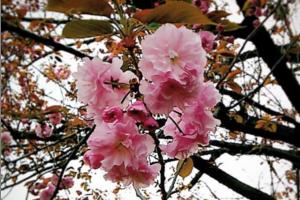 Yaesakura